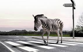 zebra in crosswalk